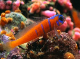 Catalina Goby Fish