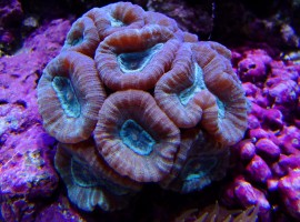 candy cane corals