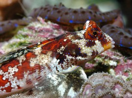 ocellated dragonet exotics fish loricula flame pygmy angel